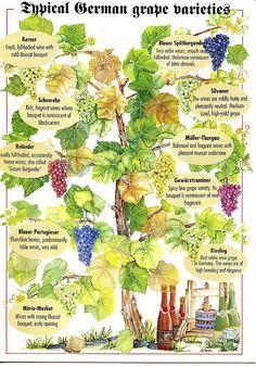 Typical German grape varieties by VermontGreenDarner postcards, via Flickr