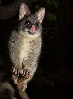 """A photo of me? Why of course!"" Australia.com Australian Possum, Australian Birds, Animals And Pets, Cute Animals, Wild Animals, Australia Animals, Quokka, Marine Life, Mammals"