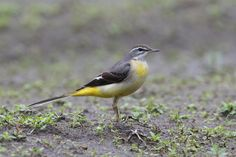 Grey Wagtail Grey Wagtail, Image Database, Beautiful Creatures, Insects, Birds, Friends, Animals, Amigos, Animales