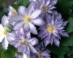 Clematis hybrids group ... www.clematis.be...Ice Crystal