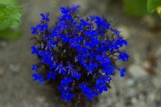 Lobelia - Crystal Palace - Pinetree Garden Seeds - Flowers