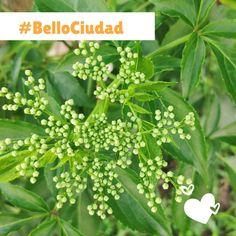 BelloCiudad #NestorLeon Herbs, Plants, Cities, Herb, Plant, Planets, Medicinal Plants