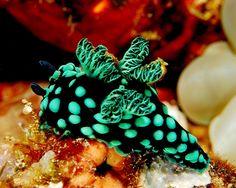 Nembrotha cristata is a species of colorful sea slug, a dorid nudibranch, a marine gastropod mollusk in the family Polyceridae.