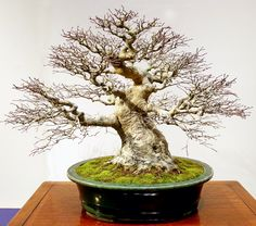 I think this may be a Chinese elm from part 1 of the 2016 90th Kokufu Bonsai Exhibition in Japan. There are more pictures of the incredible and brilliant trees from this exhibition...they are absolutely worth your time to see them in this gallery! These are the best work of the best bonsai masters in this exhibition. The ones I have posted are bare, this is done to better show the incredible ramification work. Others are in foliage and even in bloom...