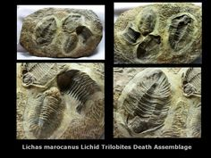 Lichas Trilobites Death AssemblageA rarely seen speciesName: Lichas marocanusTrilobites Order Lichida, Family LichidaeGeological Time : Upper Ordovician, Ashgillian Age (~440 million years ago)Size: Trilobite is 72 mm longFossil Site: Kataoua Formation, Jebel Bou-Degane, Tazarine, Morocco