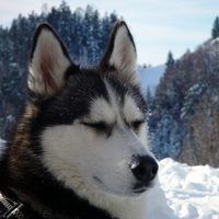Making your own food for your husky is the only way to ensure that it will get all the necessary nutrients for complete health. Commercial dog foods have many loopholes that allow them to get away with adding fillers, toxic preservatives, and turned or moldy meat and grains. Huskies are large dogs that require a lot of protein, as well as...
