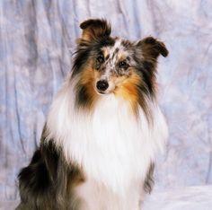 Shetland Sheepdog Portrait Of A Dog Canvas Art - The Irish Image Collection Design Pics x Puppy Aggression, Irish Images, Dog Health Care, Different Dogs, Aggressive Dog, Shetland Sheepdog, Dog Show, Sheltie, Dog Behavior