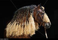 Stock Photo - Czech Noriker Horse Bay stallion with plaited mane Horse Tail, Horse Head, Noriker Horse, Horse Braiding, Tail Braids, Gypsy Horse, Draft Horses, Plaits, Horse Breeds