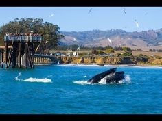 The Whale Trail; Ca. Hwy 1 Discovery Route. Published Jan 10, 2017. The Central Coast is a spectacular place to watch marine mammals from shore! Whale Trail signs can be found at: San Simeon – Cavalier Resort. Cambria – Shamel Park. Cayucos – Cayucos Pier. Los Osos – Montana de Oro's Bluff Trail. Avila Beach – Avila Pier. Oceano – Dunes Overlook at Grand Avenue. Some of the best wildlife viewing in the world- including 34 amazing species of marine mammals at any time of year.