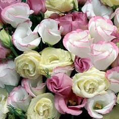 Lisianthus - looks very similar to a rose. Colours range from white thru pinks to purples and blues. It symbolizes calmness and appreciation <3