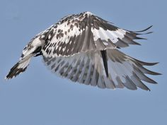 India - Pied Kingfisher
