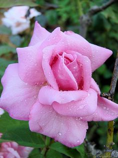 'Belinda's Dream ' Rose Photo