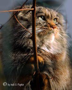 Pallus cat Small Wild Cats, Big Cats, Cool Cats, Cats And Kittens, Felis Manul, Wild Cat Species, Animals Beautiful, Cute Animals, Pallas's Cat