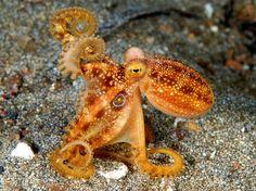 The rare Poison Ocellate Octopus (Octopus mototi)