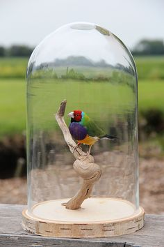 Gould Amadine in stolp Bird Taxidermy, Outdoor Decor, Crafts, Closet, Home Decor, Birds, Pictures, Manualidades, Armoire