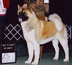 CH Regalia's Bearicade Japanese Akita, American Akita, English Mastiff, Shiba Inu, Dog Owners, Dog Breeds