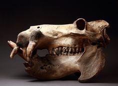 African hippopotamus skull