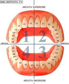 numerazione-denti.jpg (395×480)