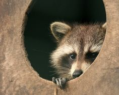 Exploring symbolic meaning of Raccoon Totem... Raccoon is the picture perfect bandit, and ever so adorable with his mask! What a fun spirit guide he is. More: http://www.universeofsymbolism.com/symbolic-meaning-of-raccoon.html