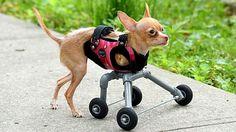 Двулапая чихуахуа теперь может ходить  - благодаря колесным протезам
