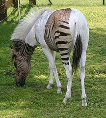 Zebra A Zorse or Hebra, depending on whether the father was a zebra or horse.  Beautiful either way!