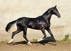 Karabek (Karar - Wormwood), Akhal Teke stallion. http://dacorakhalteke.com/