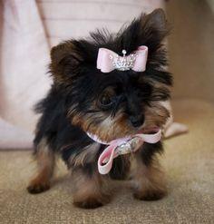 Micro Teacup Morkie. So adorable! Better be for 10 g's!