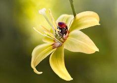 Kwiat, Żółta, Lilia, Biedronka