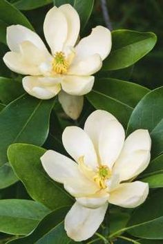 Southern Magnolia: As iconically Southern as sweet tea and bluegrass bands, this native broadleaf evergreen tree is a landscape staple across the region. A must in every southern garden. Trees And Shrubs, Flowering Trees, Trees To Plant, Magnolia Trees, Magnolia Flower, Evergreen Magnolia, Magnolia Colors, Magnolia House, Gardenias