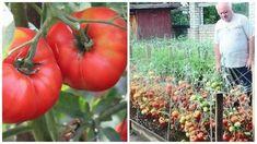 Secretul care te ajută să îți crești producția la roșii. O rețetă veche, sovietică, este în atenția cultivatorilor de tomate din România care s-au documentat din mai multe surse și au a Peanut Butter No Bake, Permaculture, Cake Recipes, Diy And Crafts, Food And Drink, Home And Garden, Vegetables, Gardening, Nicu