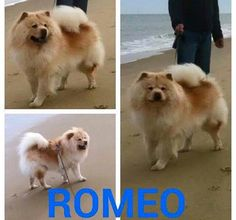 Meet Romeo, a Petfinder adoptable Chow Chow Dog   Dix Hills, NY   Romeo is a 3 year old male cream chow that was saved from NH. He is a big puppy and loves his toys....
