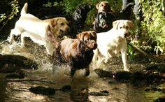 Labradors and water!