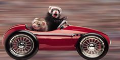 photo of ferret driving car | Photo From Jeanne Carley's Ferret Calendar Wins Photo Contest ...