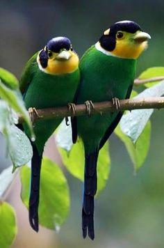 Long-tailed Broadbills can be found in the Himalayas, Southeast Asia, and Indonesia via Bird's Eye View at www.Facebook.com/aBirdsEyeViewForYou