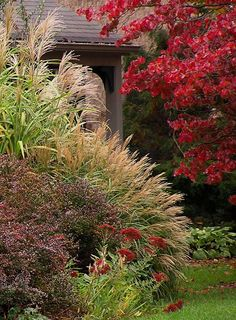 A colorful fall show of   Crimson Pygmy Barberry (Berberis thunbergii 'Crimson Pygmy'),   Showy sedum (Sedum spectabile), Miscanthus sinensis grasses and   Flowering Dogwood (Cornus florida).