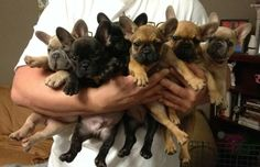 OMG! Frenchies, French Bulldog Puppies!