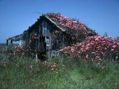 .old house overgrown with roses