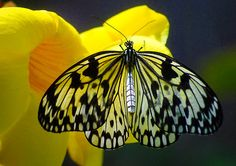 Rice Paper Butterfly by William Newland