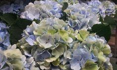 #Hydrangea #Hortensia #VerenaBlue Classic; Available at www.barendsen.nl