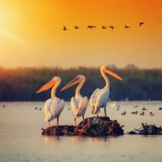 Danube Delta and its magic pelicans (Delta Dunarii) #animals #wildlife #naturephotography #danubedeltaromaniatourism #wildlifeplanet #rivers #beautiful #sunsets #birds # galleries