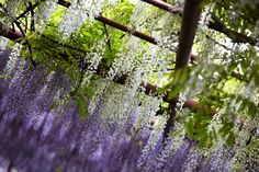 Wisteria by Feng Yin on 500px