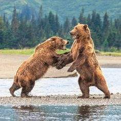 Coastal Brown bears sparring by Silver Salmon Creek, Lake Clark National Park, Alaska Photo by Lisa Aikenhead Golden State Warriors, Skull Art, Beautiful Landscapes, Places To Travel, Alaska, Behind The Scenes, Art Drawings, Coastal, National Parks