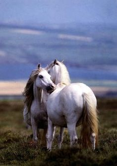 White Horses actually gray. Oh my goodness, it's, so beautiful!!!