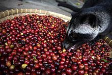 Kopi luwak (Indonesian pronunciation: or civet coffee, refers to the beans of coffee berries once they have been eaten and excreted by the Asian palm civet (Paradoxurus hermaphroditus).[1] The name is also used for marketing brewed coffee made from the beans.  Producers of the coffee beans argue that the process may improve coffee through two mechanisms, selection and digestion.   Passing through a civet's intestines the beans are then defecated with other fecal matter and collected.