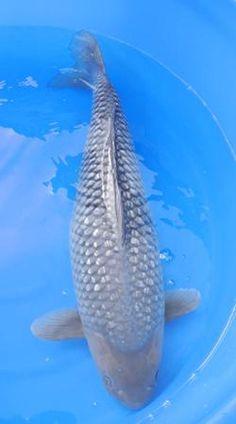Online Aqurium Shopping: Secrets, Advice And Tips You Need Koi Fish Pond, Koi Carp, Fish Ponds, Beautiful Fish, Animals Beautiful, Koi Fish Colors, Koy Fish, Fish Information, Garden Pond Design