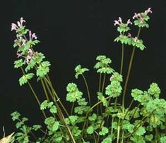 Henbit... can be eaten raw, cooked or dried and brewed into tea. Helps with rhuematism, is a laxative, stimulant, sweat-inducer, and fever reducer.  Most people regard it as a weed, and it grows wild, probably in your back yard.