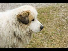 Pyrenean Mastiff (Mastín del Pirineo) - Dog Breed - YouTube