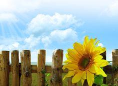 https://pixabay.com/static/uploads/photo/2012/03/01/00/30/sunflowers-19647_960_720.jpg