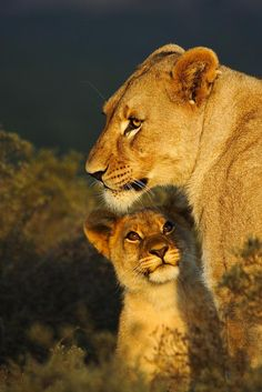 Lions @ Shamwari
