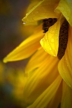 Sunflower photograph flower print rain home by judeMcConkeyPhotos, $35.00